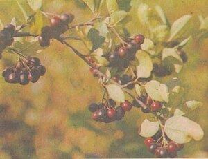 Ветка аронии черноплодной