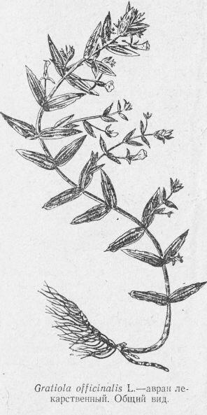 Авран лекарственный (Gratiola officinalis L.). Общий вид