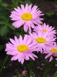 Пиретрум розовый (персидская ромашка)